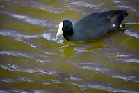Hawaiian Coot.  Maui, HJawaii..Kealia Pond National wildlife Refuge