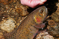 Greenback Cutthroat in Rocky Mountain National Park