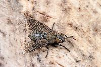 Breitmundfliege, Kussfliege, Kußfliege, Platystoma seminationis, signal fly, Breitmundfliegen, Platystomatidae
