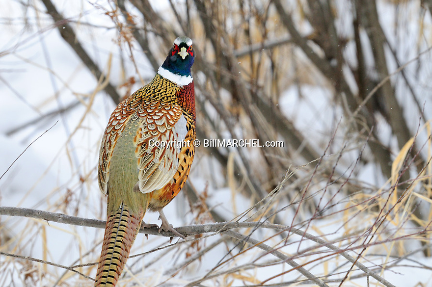 00890-044.02 Ring-necked Pheasant rooser is perched in willow thicket during winter.  Shelter, cover, CRP, survive, snow.