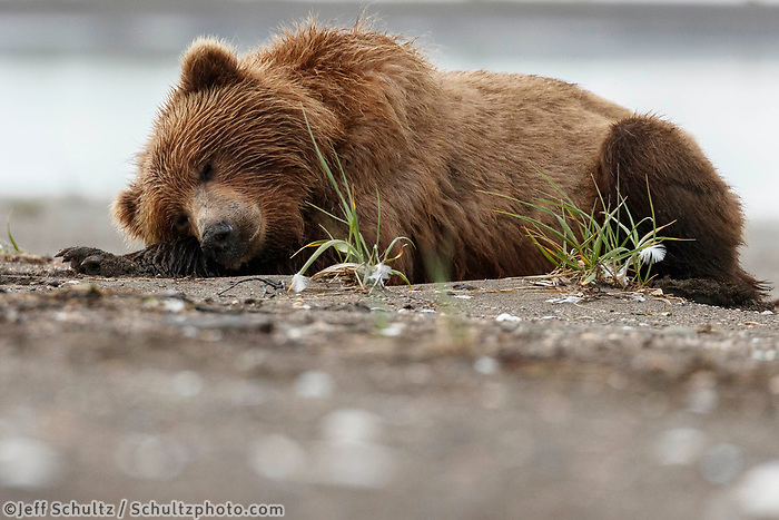 Brown Bear sleeps/naps n sand on Cook Inlet shore coast in Lake Clark National Park.  Silver Salmon Creek area. Western Alaska  Summer<br /> <br /> Photo by Jeff Schultz/  (C) 2020  ALL RIGHTS RESERVED