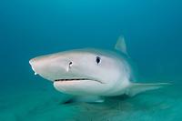 Tiger Shark - Galeocerdo cuvier. Tiger Beach, Bahamas, Caribbean, Atlantic Ocean