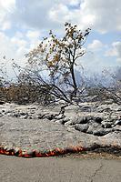 Lava flow in the forest and on highway 137, Near Hawaii, USA Volcanoes National Park, Kalapana, Hawaii, USA, The Big Island of Hawaii, USA