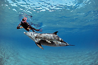 Snorkeler interacting with wild Bottlenose Dolphins, Tursiops truncatus, mother and calf, Nuweiba, Egypt, Red Sea., Northern Africa