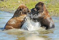 Two juvenile bears mock fight at the Alaska Wildlife Conservation Center in Portage, Alaska.