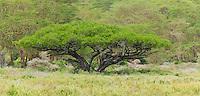 Acacia tree, Lake Nakuru National Park, Kenya
