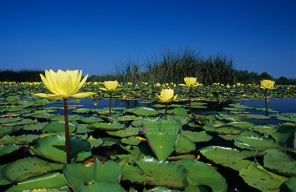 Yellow Waterlily, Nymphaea mexicana, blooming in lake, Welder Wildlife Refuge, Sinton, Texas, USA, May 2005