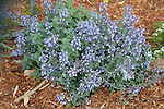 NEPETA FAASENII 'CAT'S MEOW', CATMINT
