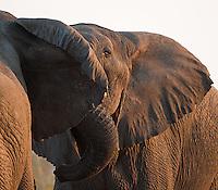 Bull elephants squaring off in Kruger.