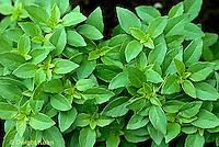 HS35-038x  Lemon Scented Basil - Ocimum basilicum