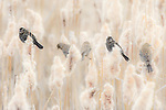 Female red-winged blackbirds in cattail reed that are seeding out in springtime in Montana.