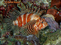 "0107-08ss  Fuzzy Dwarf Lionfish  ""Venomous Spines on Fish"" - Dendrochirus brachypterus  © David Kuhn/Dwight Kuhn Photography"