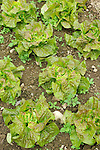 Organic vegetable field. Bibb Lettuces.