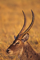 Waterbuck (Kobus ellipsiprymnus) resting at Matusadona National Park, Zimbabwe.