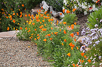 Orange California poppy (Eschscholzia californica) flowers along gravel path in garden; Torgovitsky