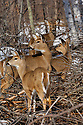 00275-191.18 White-tailed Deer (DIGITAL) group pause while feeding in logging area in late fall or winter. Survival, browse, prey. H3E1