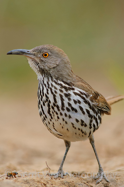 Adult Long-billed Thrasher (Toxostoma longirostre) of the subspecies T. l. sennetti. Starr County, Texas. March.
