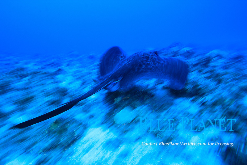 Black-blotched stingray, Taeniura meyeni, Chichi-jima, Bonin Islands, Ogasawara Islands, Natural World Heritage Site, Tokyo, Japan, Pacific Ocean