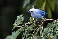 CALI - COLOMBIA, 20-06-2016: Azulejo Comun specie de ave presente en el oeste de Cali. / Azulejo Comun bird species present in western Cali Cali. Photo: VizzorImage/ Gabriel Aponte / Staff