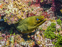 10 June 2014:: A Green Moray Eel (Gymnothorax funebris) is seen at Ghost Mountain on the North Shore of Grand Cayman Island. Located in the British West Indies in the Caribbean, the Cayman Islands are renowned for excellent scuba diving, snorkeling, beaches and banking.  Mandatory Credit: Ed Wolfstein Photo *** RAW (NEF) Image File Available ***