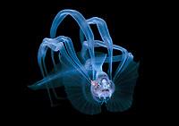 bathypelagic species of cusk-eel, likely a bony-eared assfish, Acanthonus armatus, making an appearance in 50 feet during a Black Water drift dive in waters 700+ feet deep, Palm Beach, Florida, U.S.A.   Atlantic Ocean.