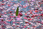 Aquatic plants and maple leaves intermix in autumn in Eagle Lake, Acadia National Park, Maine, USA