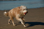 Wheaten Terrier playing on the beach