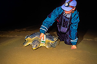U. Queensland grad. student Jannie Bech Sperling uses microwave scanner to check Australian flatback sea turtle, Natator depressus, for implanted P.I.T. tag, Curtis Island, Qld., Australia