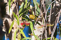 White-throated Honeyeater, Yellow Water, Kakadu NP, NT, Australia