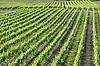 Weinberg | Vineyard