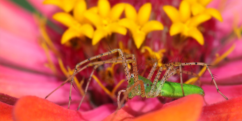 The colorful environment this spider uses to attract..