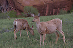 Mule deer at sunrise in Red Rocks Park, Golden, Colorado, .  John leads private, wildlife photo tours throughout Colorado. Year-round.