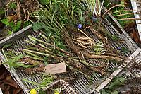 Wegwarte-Wurzel, Wegwarten-Wurzel, Wegwarte-Wurzeln, Wegwarten-Wurzeln, Wurzel, Wurzeln, Wurzeln von Wegwarte. Gemeine Wegwarte, Gewöhnliche Wegwarte, Zichorie, Cichorium intybus, Chicory, Common chicory, root, roots, La Chicorée sauvage, Chicorée amère, Chicorée commune, Chicorée intybe, Wurzel-Ernte, Wurzelernte im Herbst