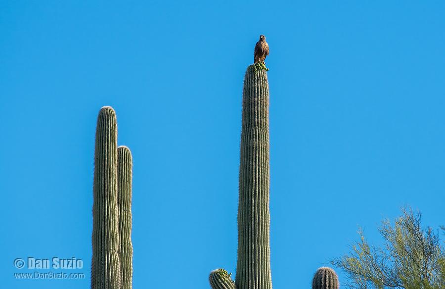 Red-tailed Hawk, Buteo jamaicensis, perches on a Saguaro cactus, Carnegiea gigantea, in Saguaro National Park, Arizona