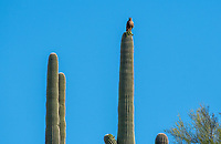Red-tailed Hawk, Buteo jamaicensis, perches on a Saguaro cactus, Carnegiea gigantea, in Saguaro National Park, Arizona