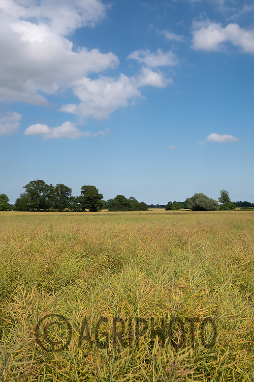 Oilseed rape ripening <br /> ©Tim Scrivener Photographer 07850 303986<br />      ....Covering Agriculture In The UK....