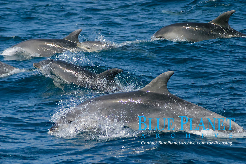 bottlenose dolphins, Tursiops truncatus, note calves and mothers, Azores Islands, Portugal, North Atlantic