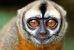 Andean or Peruvian night monkey, Peru