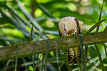 Yellow-headed Caracara (Milvago chimachima) feeding on African Oil Palm (Elaeis guineensis) fruit, Osa Peninsula, Costa Rica