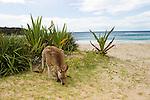 Eastern Grey Kangaroo (Macropus giganteus) male grazing on beach, Pebbly Beach, Murramarang National Park, New South Wales, Australia