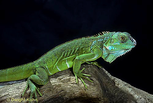 1R10-007z  Iguana - from Central America - Iguana iguana