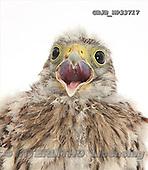Kim, ANIMALS, fondless, photos, GBJBWP33717,#A# Tiere ohne Fond, animales sind fondo