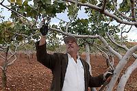 TURKEY, Nizip, farmer cut branches of pistachio trees after harvest / TUERKEI, Nizip, Farmer beschneidet Pistazienbaeume nach der Ernte