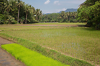 Borobudur, Java, Indonesia.  Young Rice Growing in the Field.