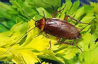 OR13-004c  American Cockroach on celery - Periplaneta americana