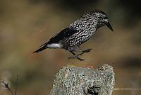 Spotted Nutcracker, Nucifraga caryocatactes, adult in flight landing, St. Moritz, Switzerland, Europe..