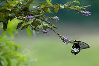 Female Great Mormon (Papilio memnon) butterfly on a branch, Fuli, Guangxi, China.