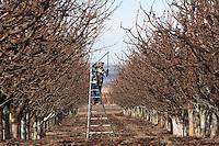 Guillermo Basurto from Mattawa, Wash. prunes a cherry tree at Outwest Cherries in Mattawa, Washington on February 8, 2011.  Orchards line the Columbia River near Mattaw, Wash.  (photo credit Karen Ducey)