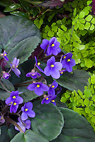 Saintpaulia 'Yesterday's Parent' Standard trailer African Violet, trailing type with blue flowers, with Adiantum maidenhair fern, houseplants