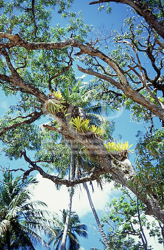 Recife, Brazil. Epiphytic bromeliads growing on a tree with a blue sky and white clouds.